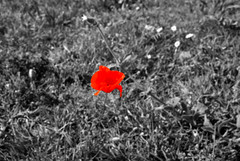 coquelicot (Insane Focus) Tags: red sun art alpes photography photo insane nikon focus photographer image artistic pics snapshot picture snap cte paca explore provence holliday paysage var vacance sud coquelicot d80 cmwdred insanefocus photographicshot