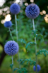 Blue balls (Hkan Dahlstrm) Tags: blue flower azul skne blauw sweden blu bleu sverige blau 2010 helsingborg f40 koloniomrde canoneos5dmarkii sek ef2880mmf284lusm senderd