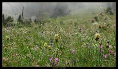Un peu de fraicheur... (fredf34) Tags: flowers mountain france nature fleurs montagne canon altitude powershot paysage pyrénées cauterets lacdegaube fredf powershots3is s3is canons3is canonpowershots3is powershots3 hautespyrenees canon3is fredf34 fredfu34