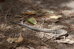 Alligator Lizzard Photo