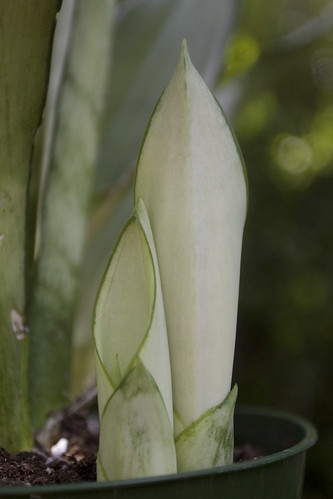 Sansevieria 'Moonglow'