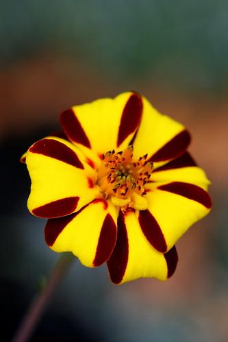 marigold harlequin