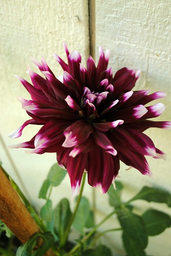 Giant Purple Dahlia (my fave)