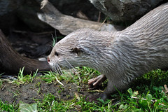 Short-Claw Otter (Eriena) Tags: blue asian aquarium august chester claw short otter planet oriental 2010 asiansmallclawedotter smallclawed aonyxcinerea orientalsmallclawedotter shortclaw