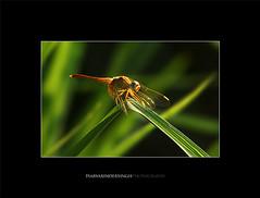 Insecty (Harvarinder Singh) Tags: green canon insects grasshopper punjab pau ludhiana canoneos5dmarkii punjabagriculturaluniversity harvarindersinghphotography harvarindersingh