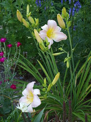 July, I Miss You! (Tabby Fan) Tags: daylily monkshood lychnis rosecampion catherinewoodbury backyardborder tabbyfan
