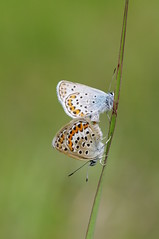 Plebejus argus (Mushimizu) Tags: butterfly plebejusargus