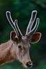 Antlered Sambar (Suri JV (on and off)) Tags: creative moment creativemoment
