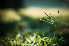 Morning Light. (CarolynsHope) Tags: morning blue light sun green nature grass yellow weeds bokeh dew carolynshope