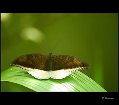 The Grey Count (R.Sreeram) Tags: macro butterfly kerala kollam kundara greycount tanaecialepidea