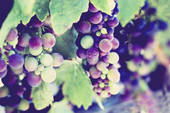 Ripening (Ginny Griffin) Tags: vines cluster grapes growing pinot ripen