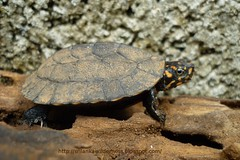 ndian Black Turtle or Indian Pond Terrapin Mel...