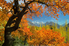 Autumn Glory.. (M Atif Saeed) Tags: autumn pakistan mountain mountains color fall nature colors landscape minolta areas northern hunza northernareas gilgit abigfave passiondéclic atifsaeed gettyimagespakistanq1