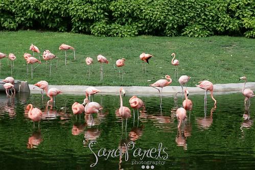 Flamingos at Jungle Island