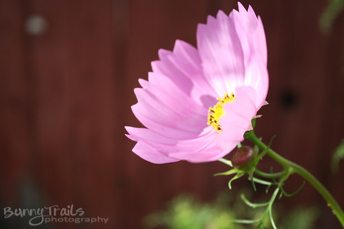 235-pink cosmos