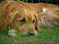 Thoughtful (maistora) Tags: uk summer england dog pet max hot nature look grass animal goldenretriever garden fur reading golden eyes backyard britain thoughtful retriever tired heat winner maxwell getty duel resting berkshire heatwave charvil mywinners maistora summertimeuk