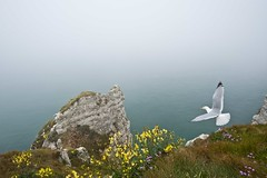 Above the cliffs of Etretat, Normandy, France (Rosarian49) Tags: sea france water coast seagull cliffs normandy etretat rosarian49 4tografie
