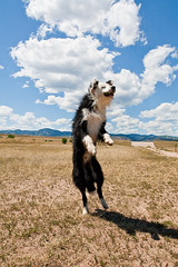 Jump into the Clouds, Ouzo! (Anda74) Tags: clouds jump colorado action wideangle bordercollie chatfield dogpark ouzo canonef1740mmf4lusm