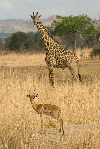 Impala and Giraffe - Mikumi National Park, Tanzania