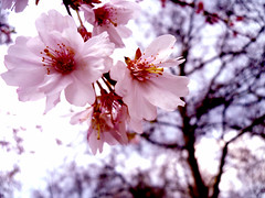 (Wicked Whale Photography) Tags: pink flowers macro tree london up japan contrast cherry close blossom