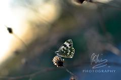 waiting sunset with a butterfly (RiccardoDelfanti) Tags: sunset butterfly tramonto bokeh  farfalla riccardodelfanti riccardodelfanti
