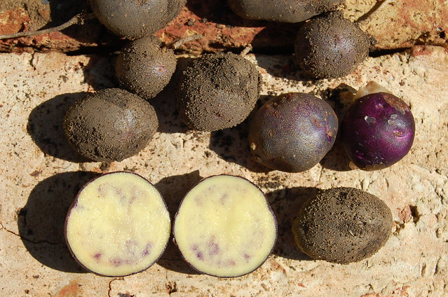 Shetland Black tatties, newly dug