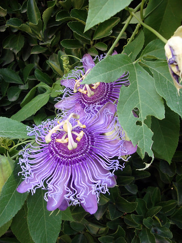 Krause_passionflower