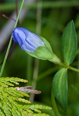 King Gentian and cedar