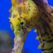 Seahorse ultra close-up