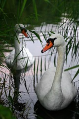 Pair of Swans, Rickmansworth (flatworldsedge) Tags: shadow england orange white lake reflection green water birds reeds neck droplets swan weeds couple pair curious canon50mmf18 curve hertfordshire wading concerned beaks rickmansworth undergrowth aquadrome