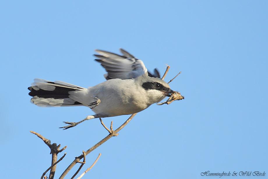 Loggerhead-Shrike-091030