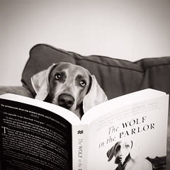 i think i like this book! (saikiishiki) Tags: portrait dog love beautiful smart square reading book funny weimaraner bookcover intelligent weim mukha thelittledoglaughed wolfintheparlor