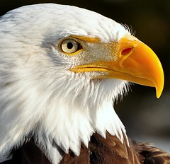 Bald Eagle Close-Up (affinity579) Tags: winter wild bird nature beautiful closeup nikon quebec wildlife baldeagle birdwatcher 70200mm ecomuseum naturesfinest d90 specanimal specanimalphotooftheday specanimalphotoofthemonth