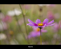 Dil chahta hai.. (Rahul De) Tags: 50mm f18 nikon d90 serenity isolated pilani bits dlawns pink green white yellow romantic colourdrenched cosmos