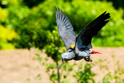 Female Grey Parrot, Teru in Flight : ヨウムのテルの飛翔