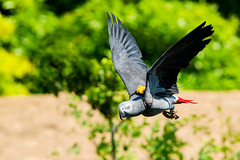 Female Grey Parrot, Teru in Flight : ヨウムのテルの飛翔 (Dakiny) Tags: 2017 summer june japan kanagawa yokohama asahiward park city street outdoor zoo yokohamazoologicalgardens zoorasia show birdshow people creature animal bird nikon d750 sigma apo 70200mm f28 ex hsm apo70200mmf28dexhsm sigmaapo70200mmf28dexhsm nikonclubit