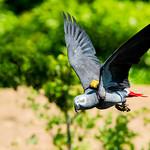 Female Grey Parrot, Teru in Flight : ヨウムのテルの飛翔 thumbnail