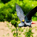 Female Grey Parrot, Teru in Flight : ヨウムのテルの飛翔