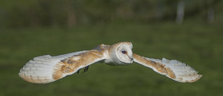 Barn owl,Tyto alba