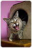Big Yawn @ Cat Cuddle Cafe (Craig Jewell Photography) Tags: catcuddlecafe adopt adoption australia brisbane cafe cat galore musgraveroad pet pussiesgalorerescue redhill rescue rescues yawning f28 ef40mmf28stm ¹⁄₅₀sec canoneos1dmarkiv iso1600 40 20170704180011x0k1147cr2 noflash 0ev