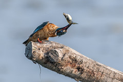 A golpes. (jordi51) Tags: europeankingfisher blauet martínpescador alcedoatthis jordi51 aves birds wildlife nature naturaleza d500 200500f56vr