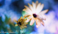 Summer Ambiance (frederic.gombert) Tags: flower dark blue contrast color colors light sun sunlight macro daisy nikon flowers