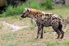 Hyène tachetée (olivier.ghettem) Tags: pairidaiza belgique afrique africa hyène hyènetachetée hyena carnivore mammifère animal