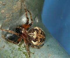 Larinioides cornutus, l'épeire des roseaux. (chug14) Tags: animalia araignée épeiredesroseaux arthropoda arachnida chelicerata micrura araneae araneidae larinioidescornutus