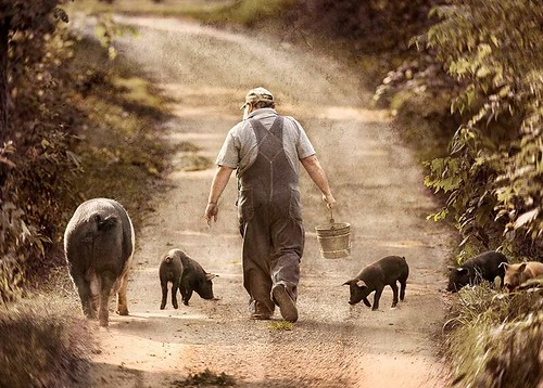 farmer with pigs, Picture 13
