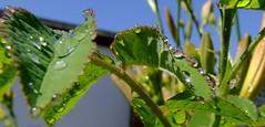 rosentropfen in der mittagssonne (torsten hansen (berlin)) Tags: light flower colour macro berlin water licht drops wasser blumen drop makro hansen cristal farbe nahaufnahme tropfen torsten blten kristall