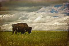 the long way home (buckchristensen) Tags: portrait texture southdakota blackhills landscape buffalo prairie bison custerstatepark textured greatplains texturized skeletalmess