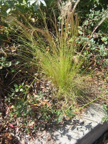 invasive Mexican Fan Grass