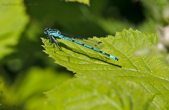 Blue on Green.. (Ollie_57) Tags: blue england green nature fauna canon insect leaf spring wings flora ngc may devon cropped damselfly 2010 hbm azuredamselfly coenagrionpuella dawlishwarren 50d ef70300mm ollie57 warennaturereserve