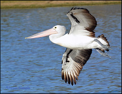 DSC_2294 Pelican in Flight - Longreach Waterhole NT (alwynsimple) Tags: birds nt elliott alwyn birdsfishing longreachwaterhole